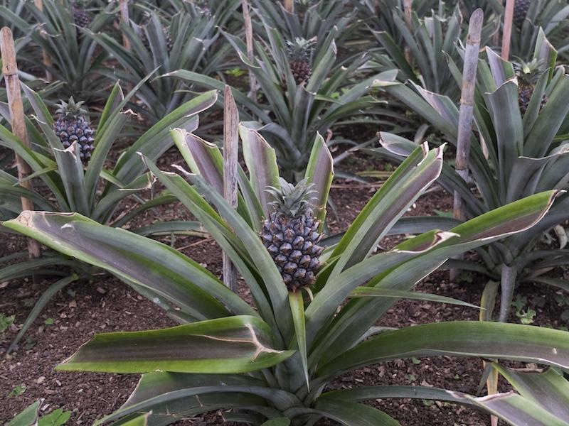 planta do ananás