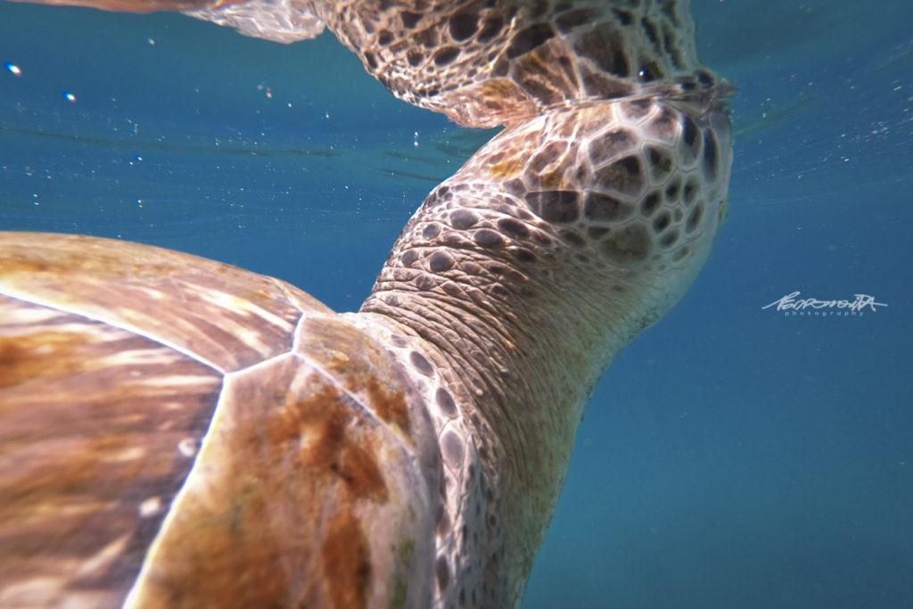 cabeça da tartaruga marinha