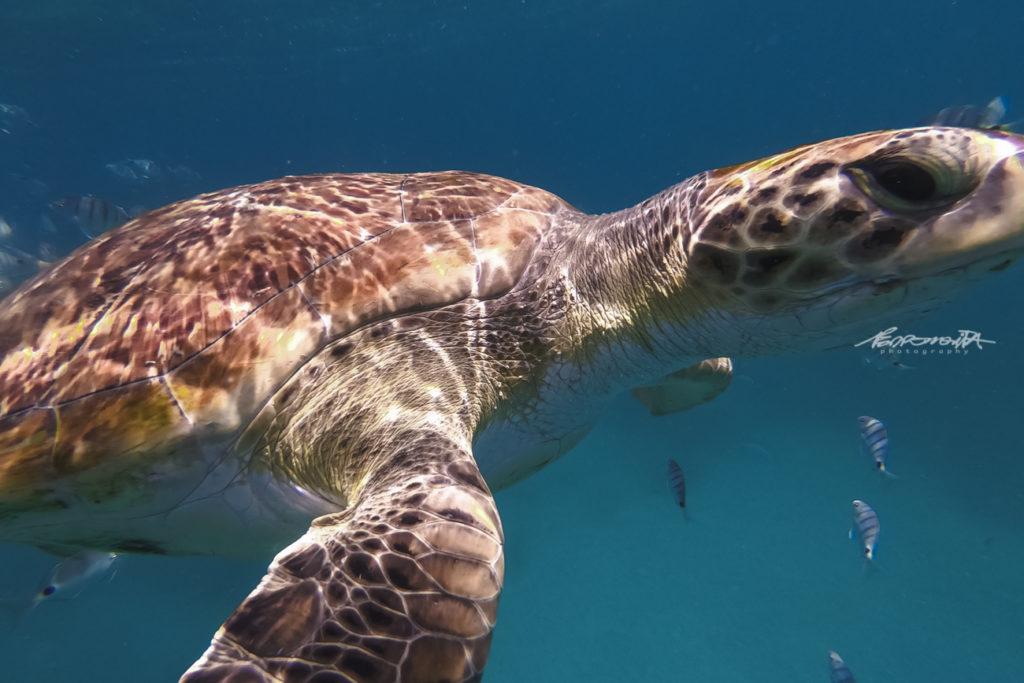 Grande plano de tartaruga marinha no mar