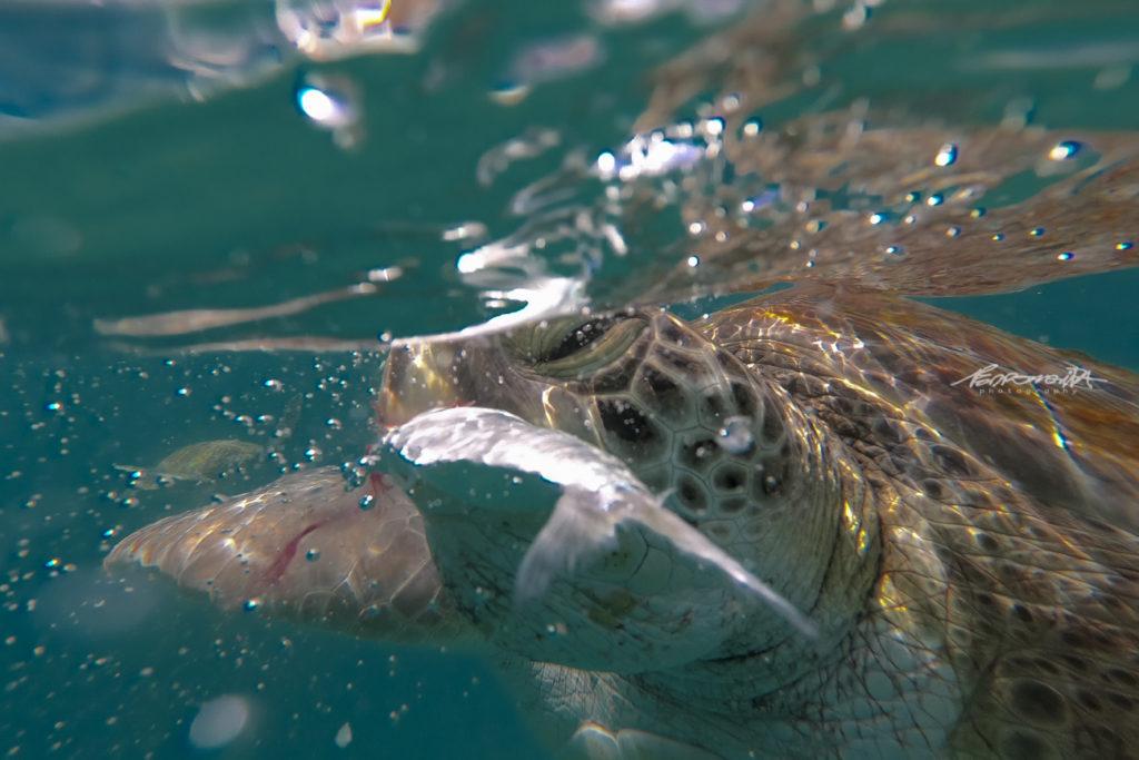 grande plano de tartaruga marinha caretta caretta no mar