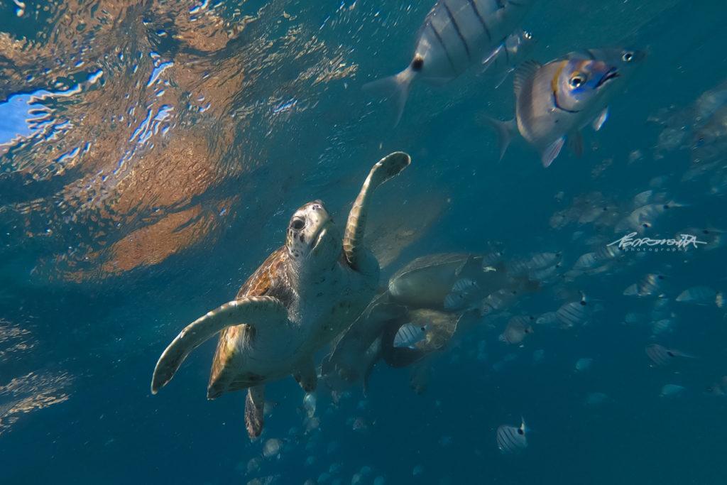 tartarugas a nadar com peixes
