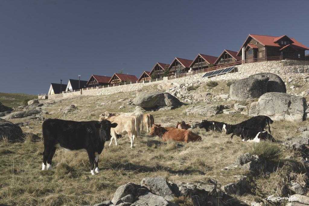 Vacas na Serra da Estrela