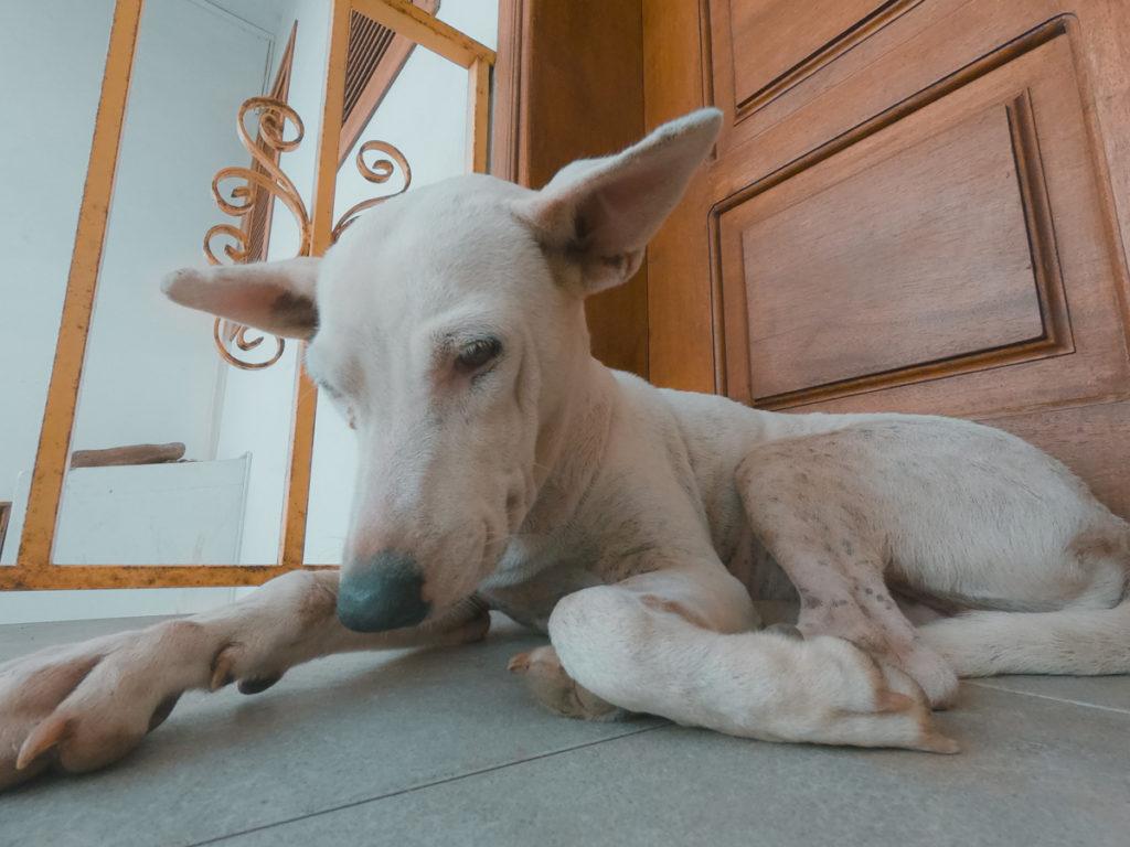 Cadela branca
