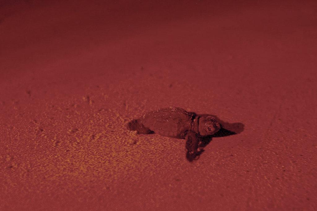 tartaruga bebé a caminho do mar
