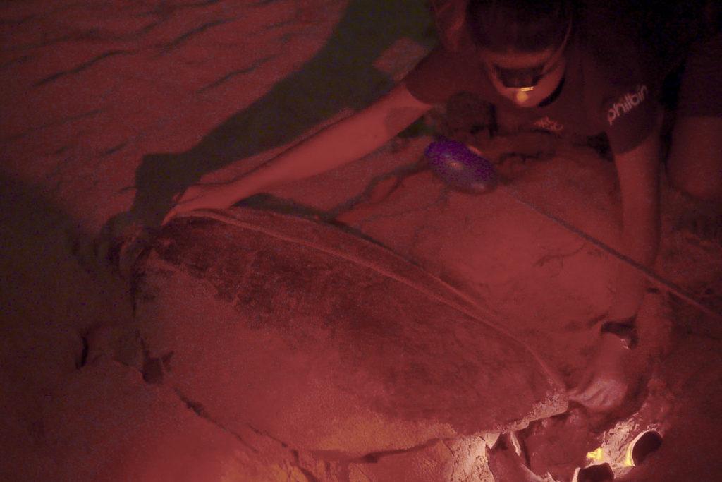 biólogo com tartaruga a desovar