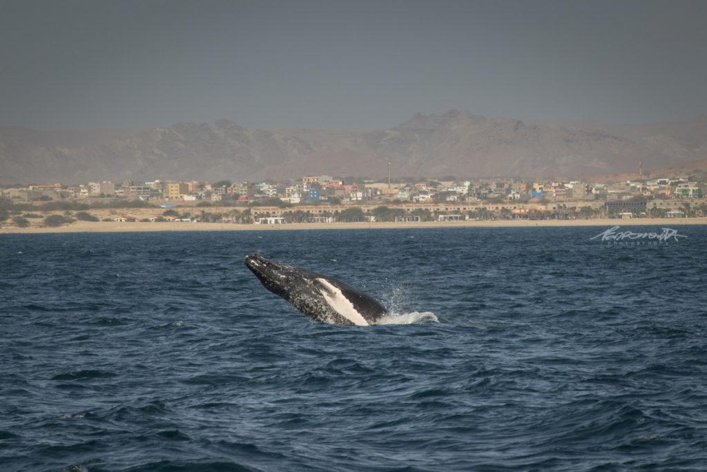 Baleia a dar saltos no mar
